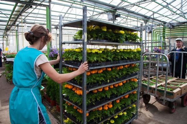 ОАО Агрокомбинат Горьковский объявляет распродажу рассады однолетних цветочных культур.